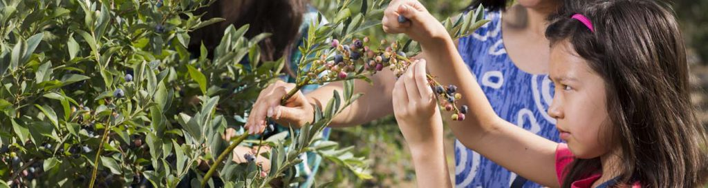 Young girl examines blueberries on a bush at an agritourism u-pick operation