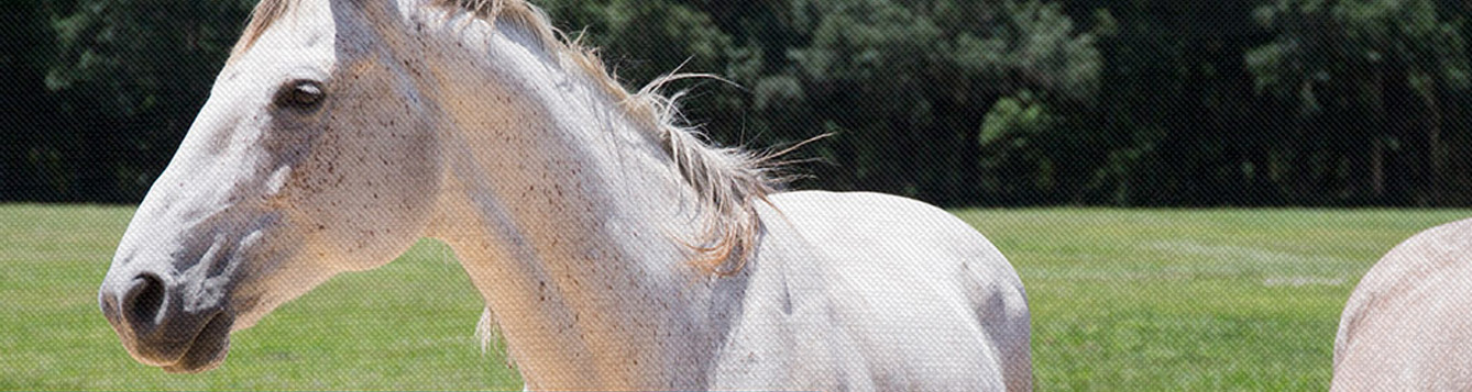 UF/IFAS Equine Highlights and News