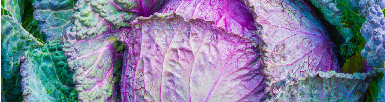 green and purple cabbage head