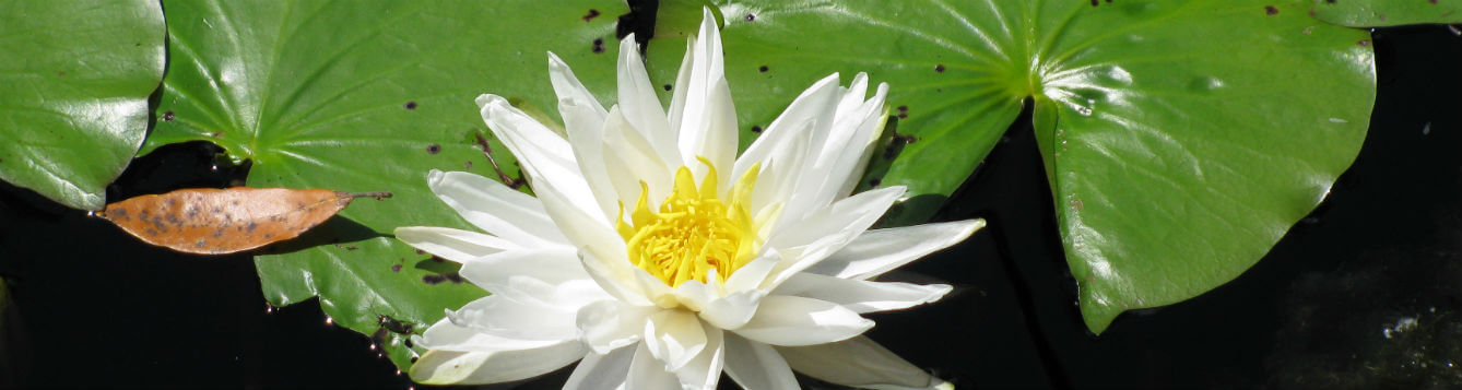 waterlily flower and leaves