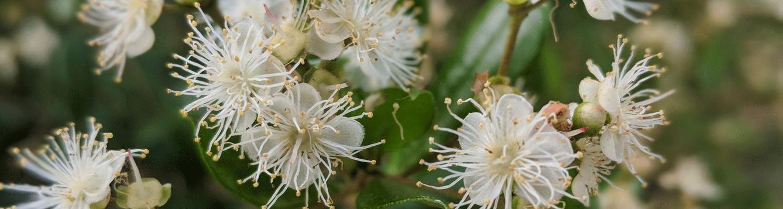 Simpson Stopper flowers, plant sale
