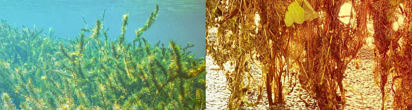 Hydrilla underwater and hydrilla as an aquatic hitchhiker.