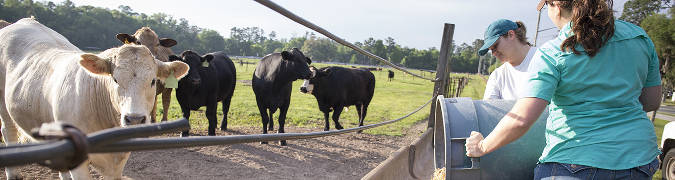 Animal Sciences students feeding cows at the Beef Teaching Unit.