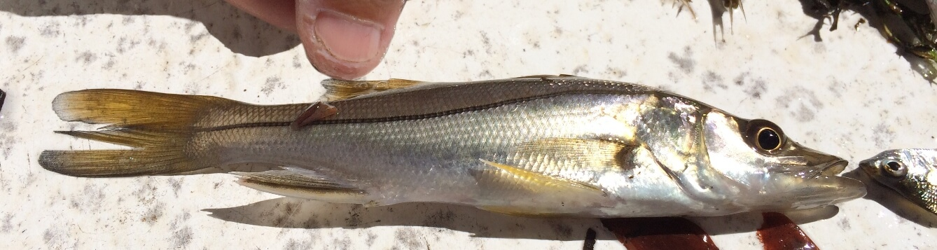 baby snook