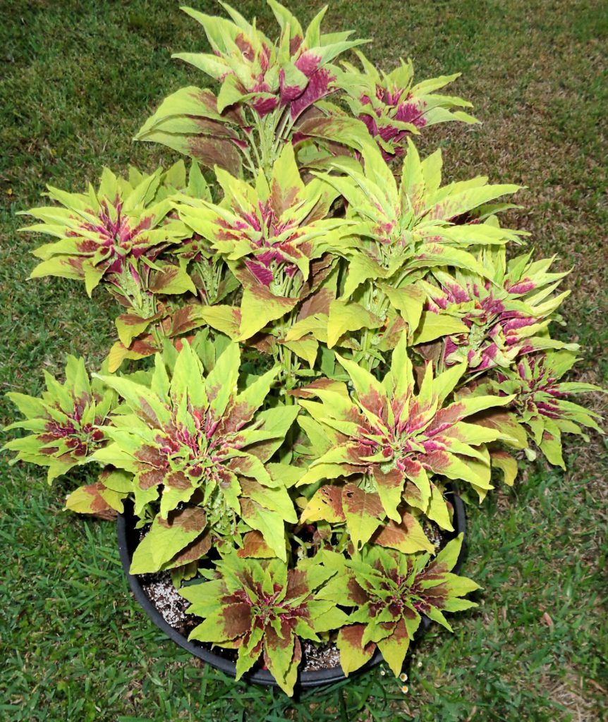 A colorful ornamental plant