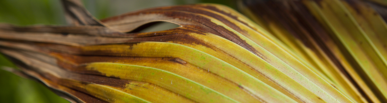 damaged palm frond