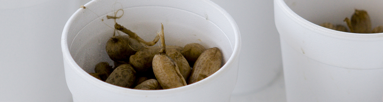 cups containing boiled peanuts