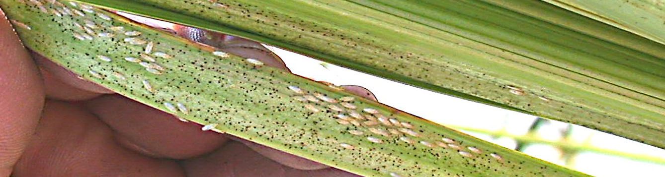 Royal palm bugs in fold of spear leaf
