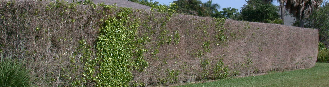 Ficus whitefly damage
