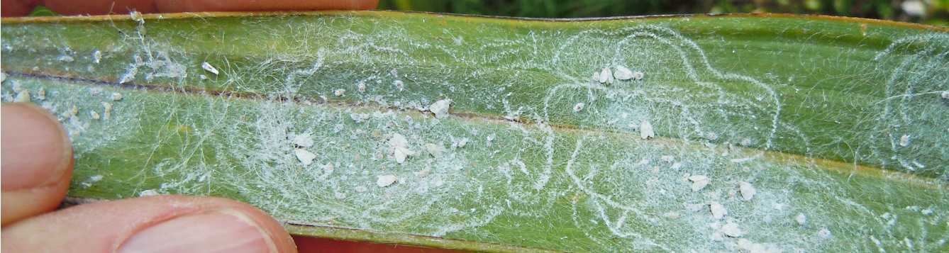 rugose spiraling whitefly effects closeup