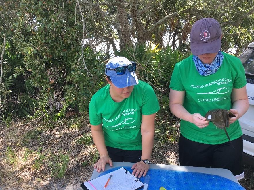 Volunteers taking measurements on horseshoe crabs