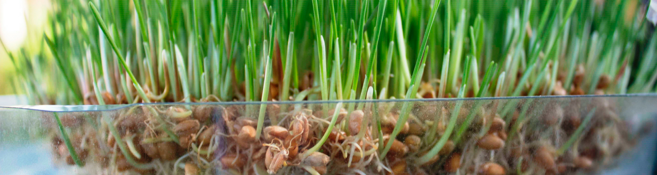 Sprouting Grains