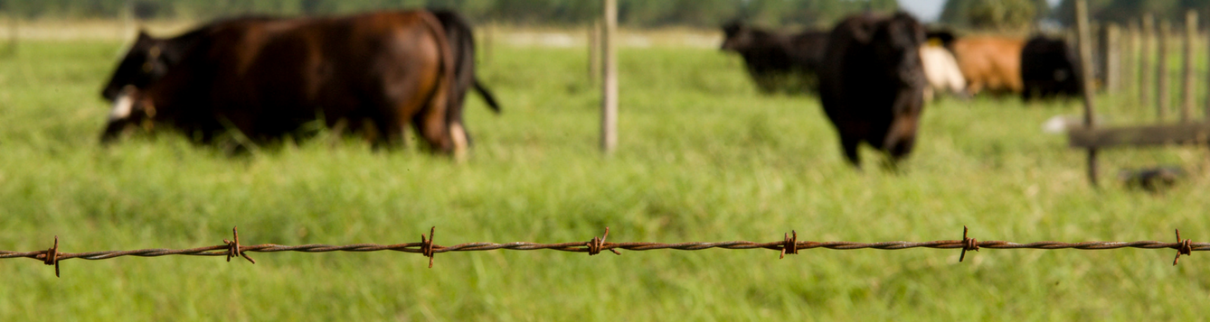 Barbed Wire Fence and Cattle