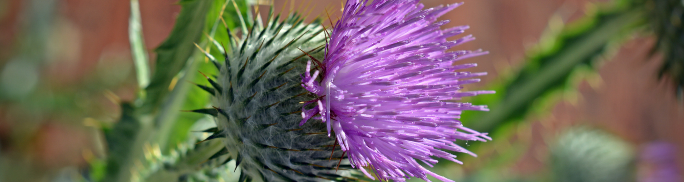 Thistle with pink flower