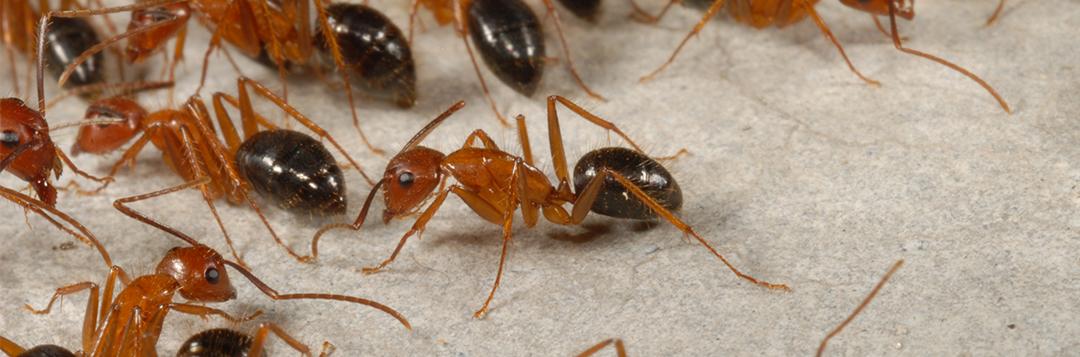 Camponotus floridanus, Credit: Buss