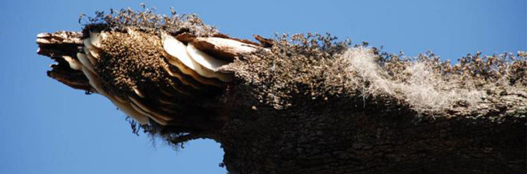 Figure 1. Exposed African bee nest on a tree limb.