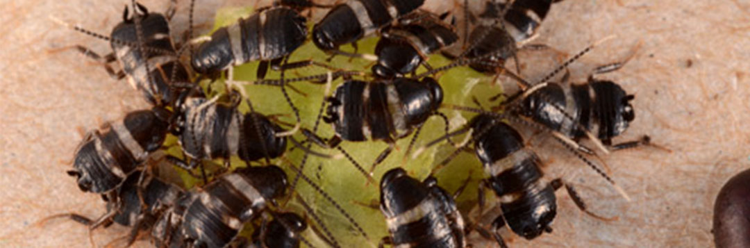 Figure 2. Australian cockroach, Periplaneta australasiae Fabricius nymphs feeding in a group. Credit: Lyle J. Buss, University of Florida