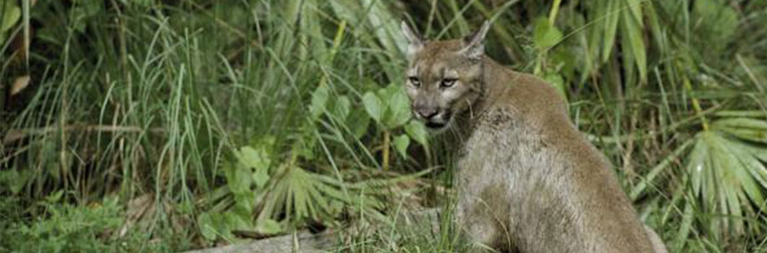 Figure 1. A Florida panther. Credit: United States Fish and Wildlife Service National Digital Library