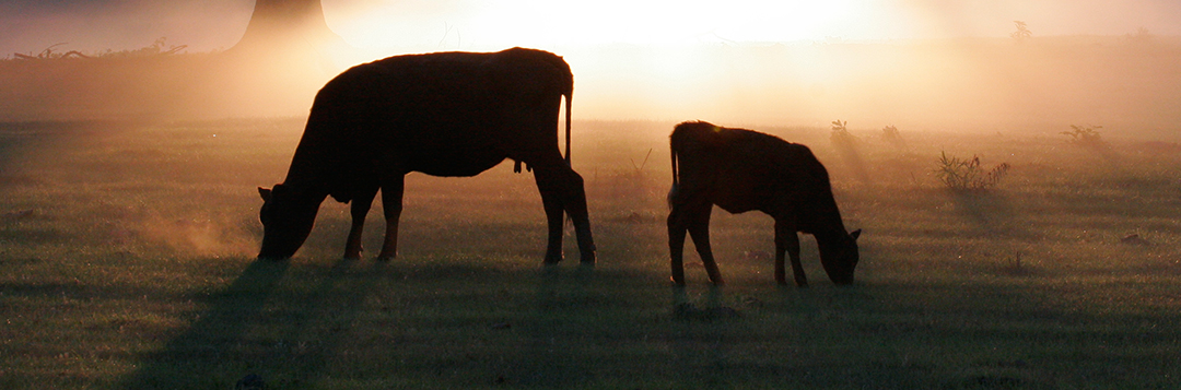 04390S cows at sunrise - agriculture