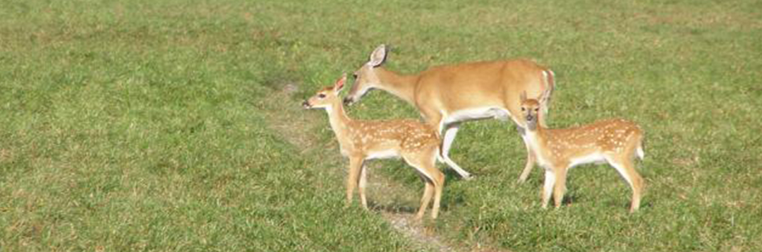 Figure 2. White-tailed deer fawns are spotted. Credit: Alico, Inc