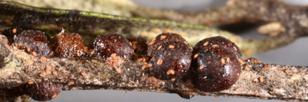 Figure 1. Adult female black scales, Saissetia oleae (Olivier) on cultivated olive (Olea europaea L.). Credit: Lyle Buss, University of Florida