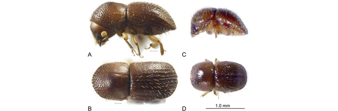 Figure 1. Adult Euwallacea fornicatus (Eichhoff). A-B female, C-D male.