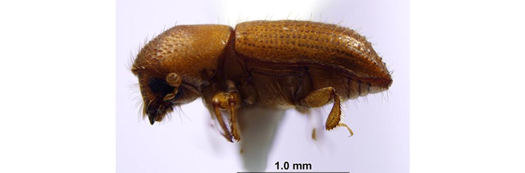 Figure 1. Adult female Xyleborus affinis. Credit: Jiri Hulcr, UF/IFAS