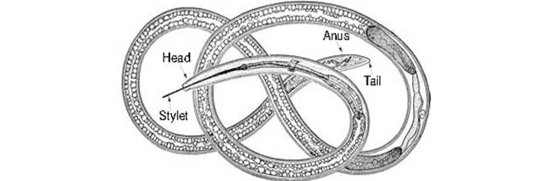 Figure 9. Schematic diagram showing detailed morphological features of a dagger nematode, Xiphinema spp.