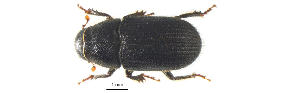 Figure 1. Dorsal view of an adult black turpentine beetle, Dendroctonus terebrans (Olivier). Its large size, trapezoidal pronotum, and rounded declivity distinguish it from all other bark beetles infesting pines in the southern United States. Credit: Adam Black and Jiri Hulcr, University of Florida