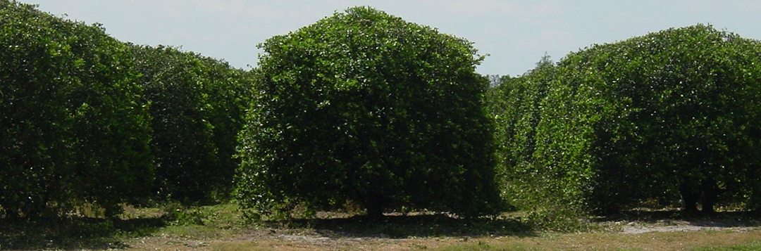 Topping and hedging of large citrus trees