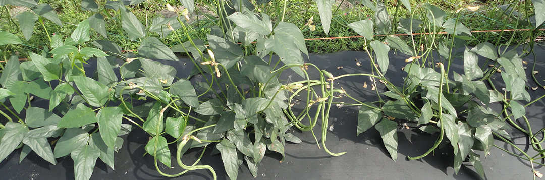 Long bean plants bearing pods in Hastings.