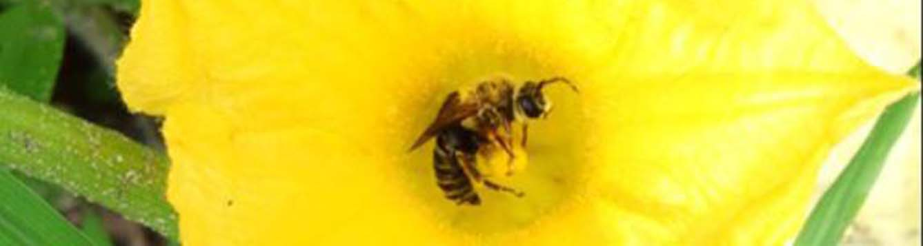 A close-up photo of a bee in a squash blossom.