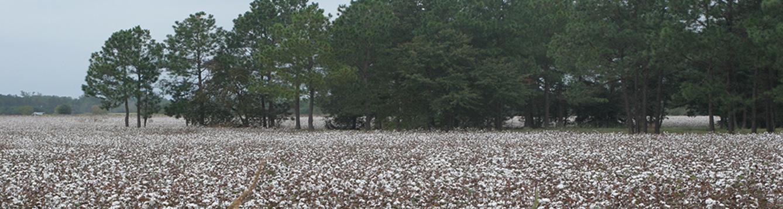 Cotton farm.