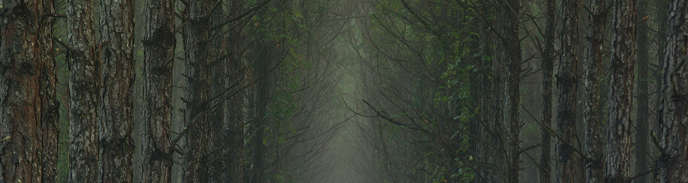 Photo looking down an aisle of planted pine trees in heavy mist, North Florida, forest. UF/IFAS Photo: Thomas Wright.