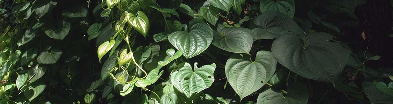 Air potato leaves in dappled sunshine