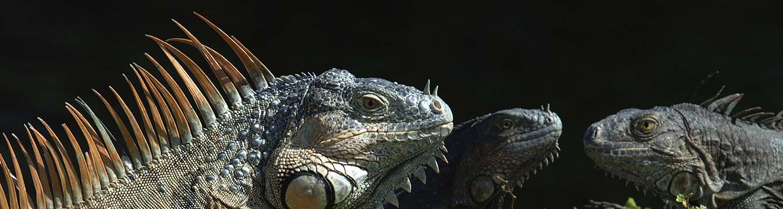 Green iguanas in South Florida.