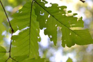 Herbivory on oak leaves