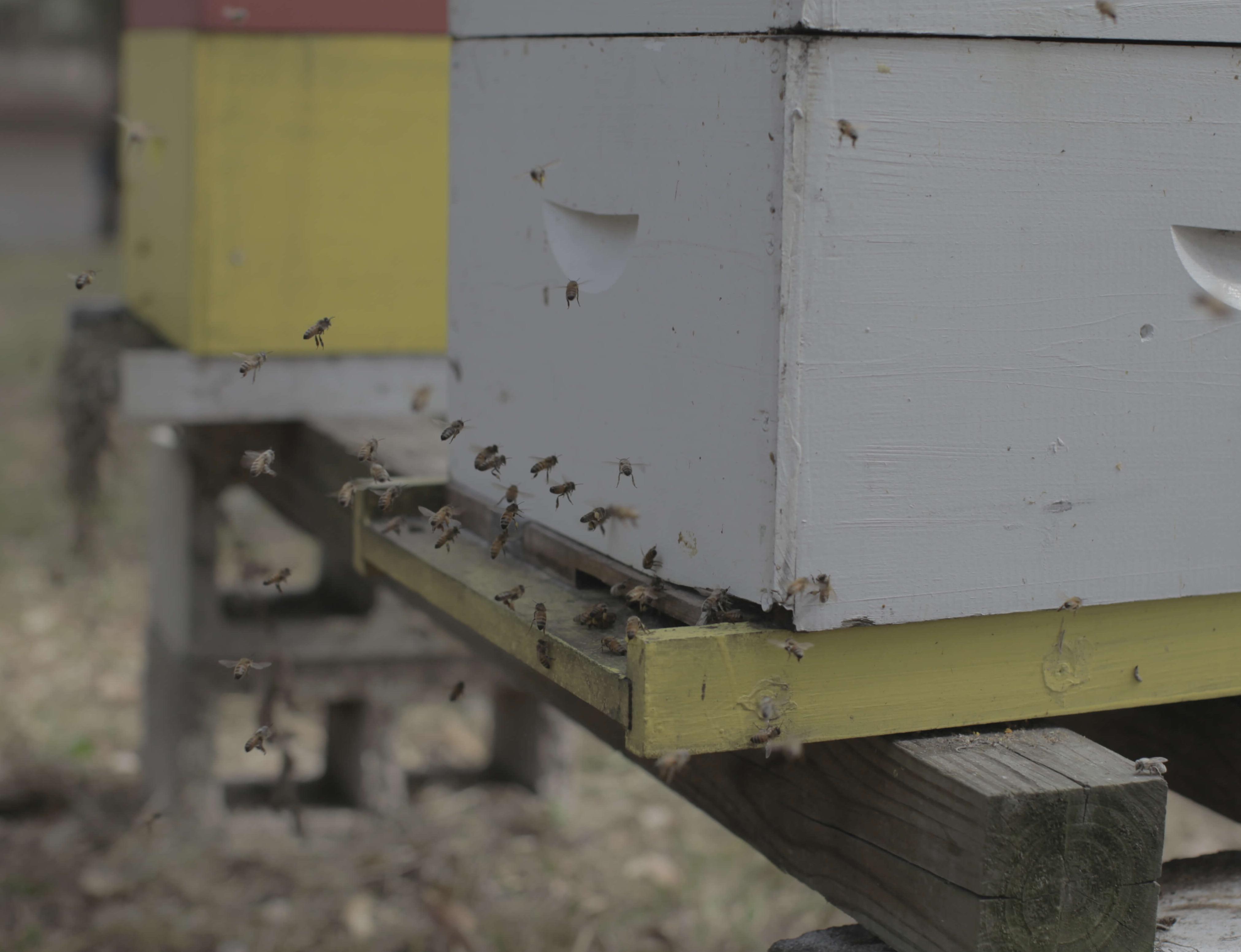 Taking Advantage Of Honey Bees Natural Behaviors Ufifas