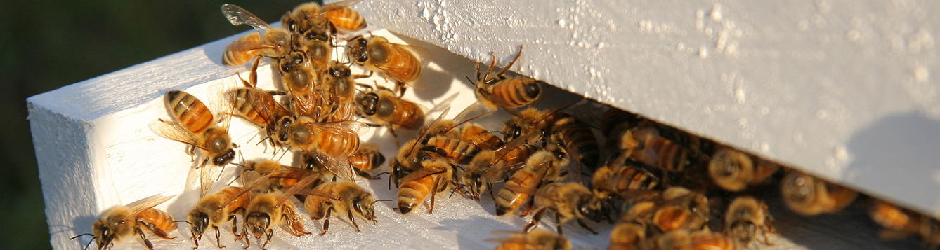 Honey bees at entrance