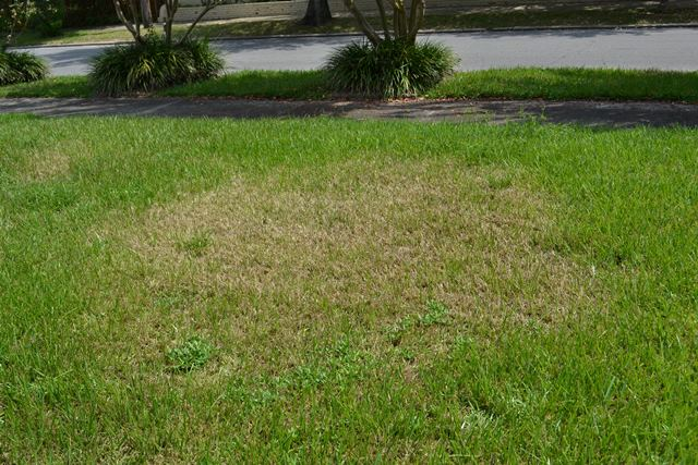 St. Augustinegrass with feeding damage from sod webworms