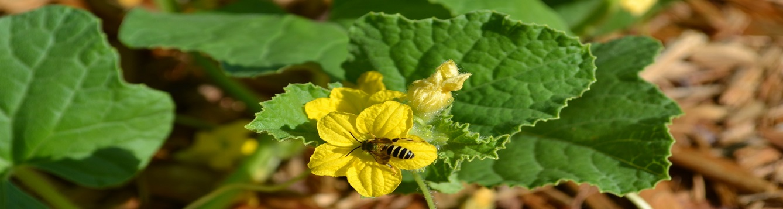 cantaloupe flower_bbolles