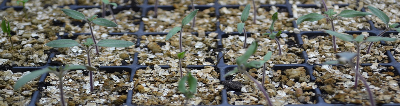 New tomato seedlings.