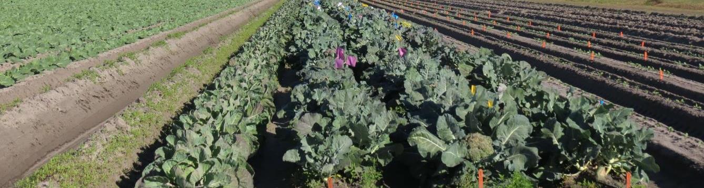 cole crop