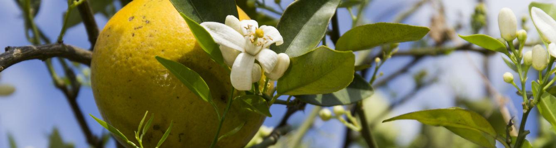 orange tree with flowers