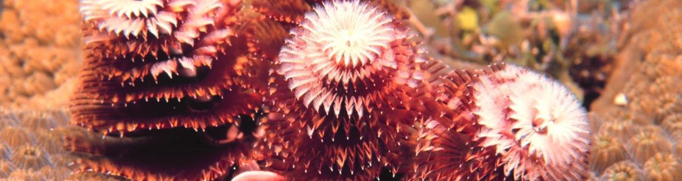 red Christmas tree worms look like spiral feathers