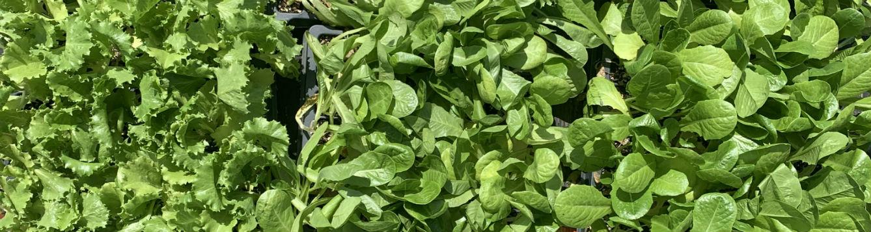 three varieties of lettuce transplants crowded together