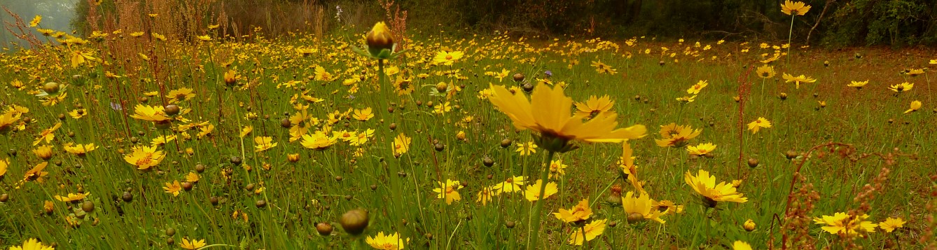 Lanceleaf coreopsis / Eleanor (Flickr)