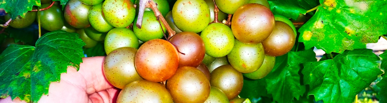 "bronze muscadines are typically called scuppernongs and even referred to as a ""white grape"" by early explorers"