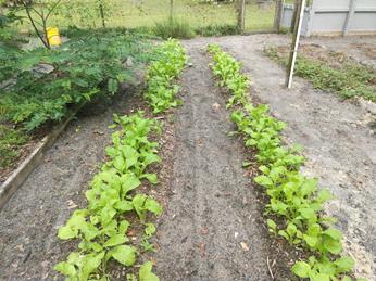 mustard spinach plants