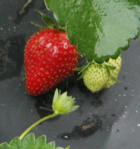 Strawberry closup